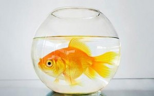 Racing's goldfish bowl...