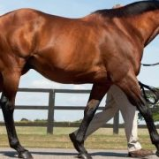 Darley's Dubawi is a sire of many fast ground winners