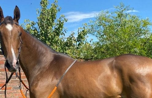Gorgeous Kayf Tara filly for sale